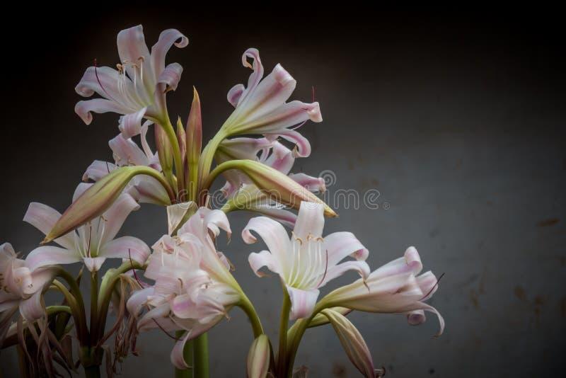 Fiore del giglio bianco della casa della tribù di Akha fotografia stock libera da diritti