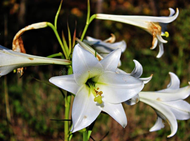 Fiore del giglio con sfuocatura sui precedenti fotografia stock libera da diritti