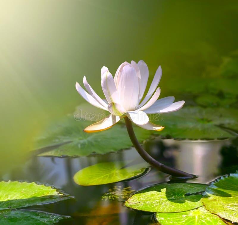 Fiore del giglio di acqua fotografia stock