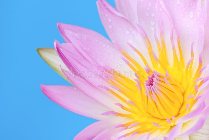 Fiore del giglio di acqua dentellare e gialla fotografia stock