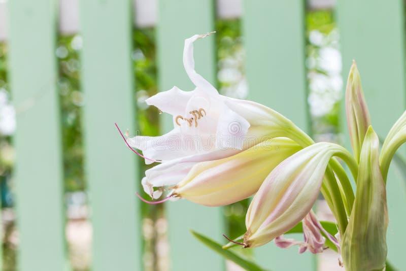 Fiore del giglio di palude fotografie stock