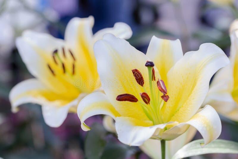 Fiore del giglio e fondo verde della foglia in giardino al giorno soleggiato della primavera o di estate Ibridi di Lily Lilium immagine stock