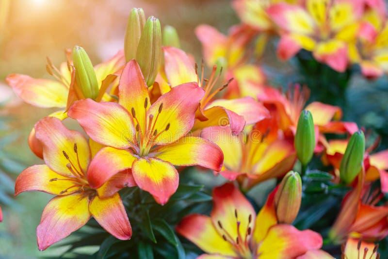 Fiore del giglio e fondo verde della foglia in giardino al giorno soleggiato della primavera o di estate Ibridi di Lily Lilium immagini stock libere da diritti