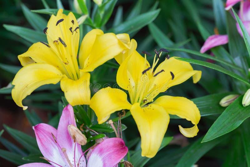 Fiore del giglio e fondo verde della foglia in giardino al giorno soleggiato della primavera o di estate Ibridi di Lily Lilium fotografia stock