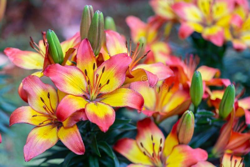 Fiore del giglio in giardino al giorno soleggiato della primavera o di estate per la decorazione e l'agricoltura Ibridi di Lily L immagini stock libere da diritti