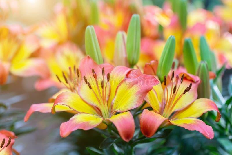 Fiore del giglio in giardino al giorno soleggiato della primavera o di estate per la decorazione e l'agricoltura Ibridi di Lily L fotografia stock