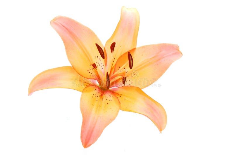 Fiore del giglio su bianco fotografie stock