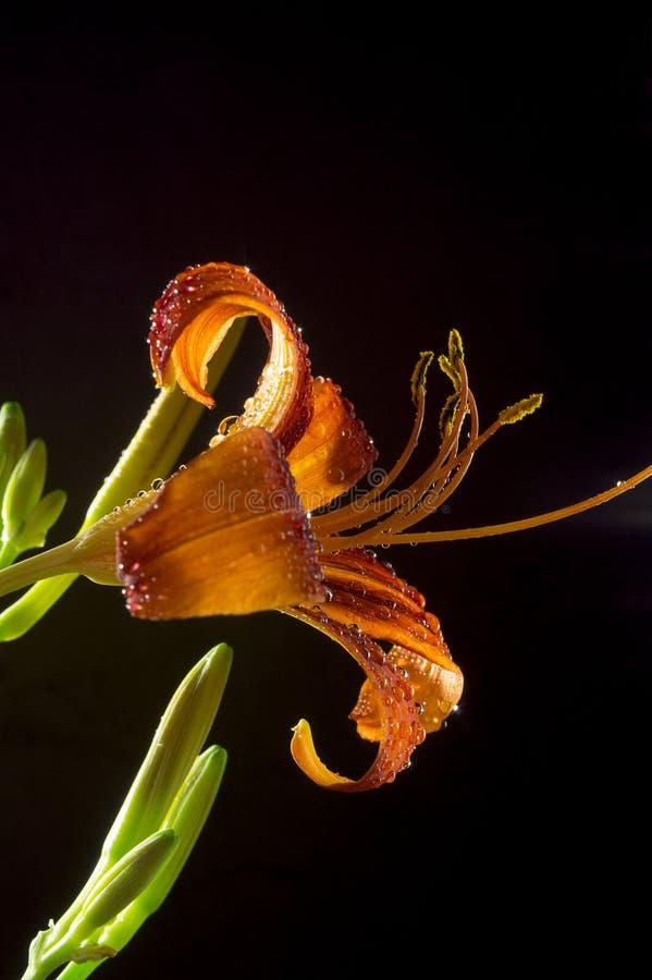 Fiore del giglio su un fondo nero 7 fotografia stock