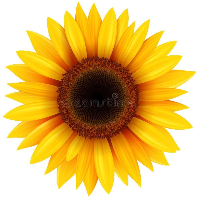 Fiore del girasole isolato illustrazione vettoriale