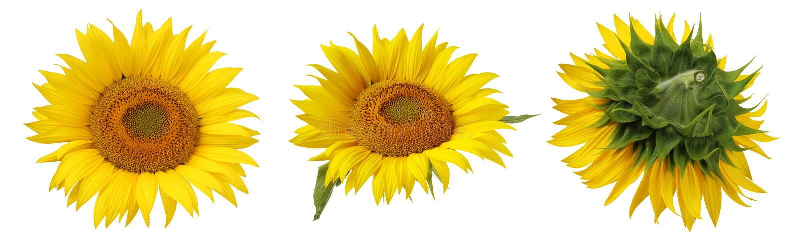 Fiore del girasole isolato su un fondo bianco fotografia stock