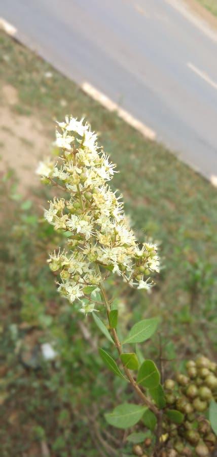 Fiore del hennè immagine stock libera da diritti