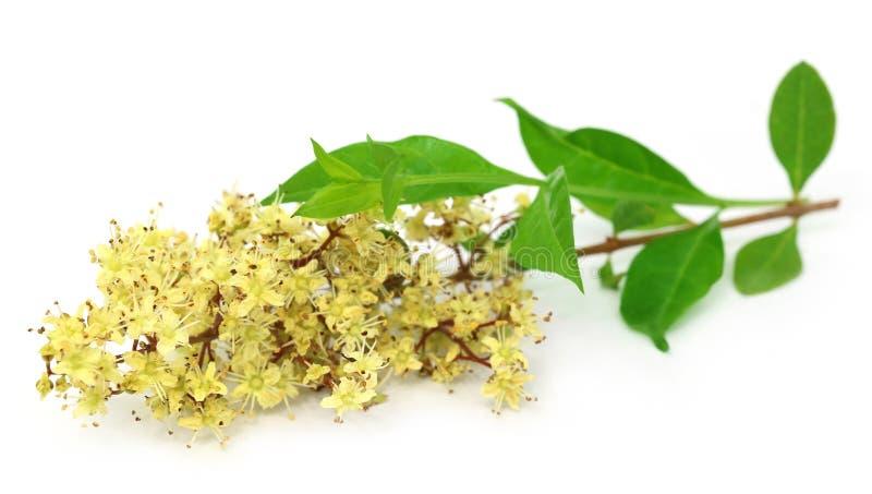 Fiore del hennè con i leeaves fotografie stock libere da diritti