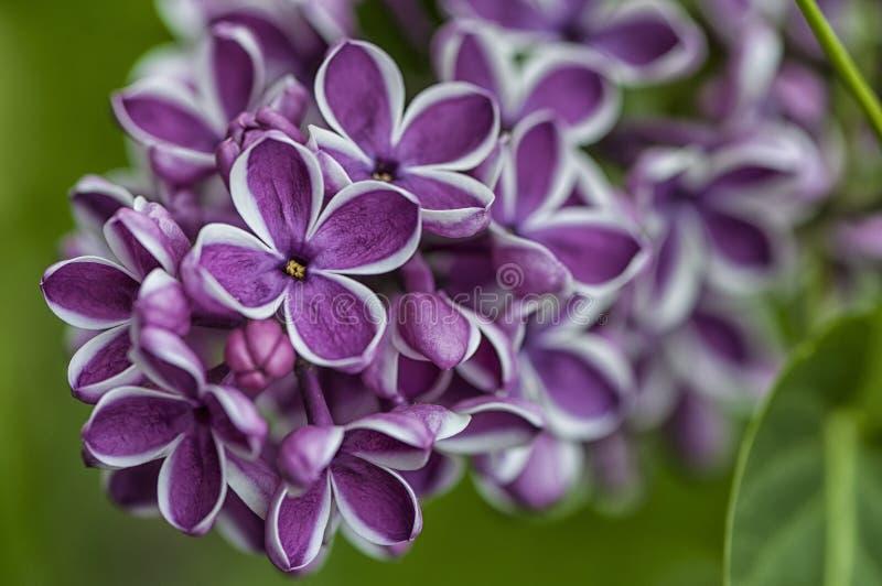 Fiore del lillà comune immagine stock libera da diritti