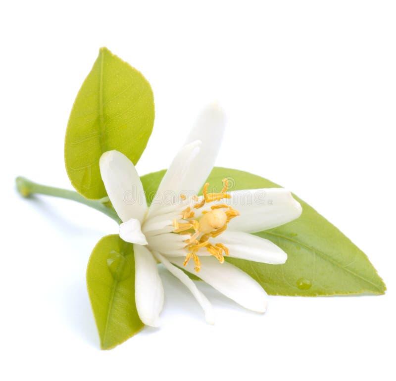 Fiore del limone fotografia stock