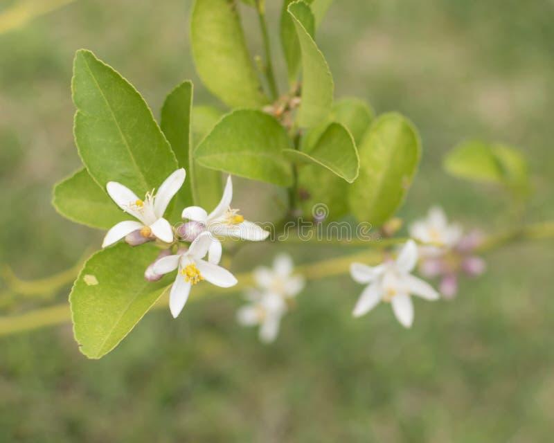 Fiore del limone fotografia stock libera da diritti