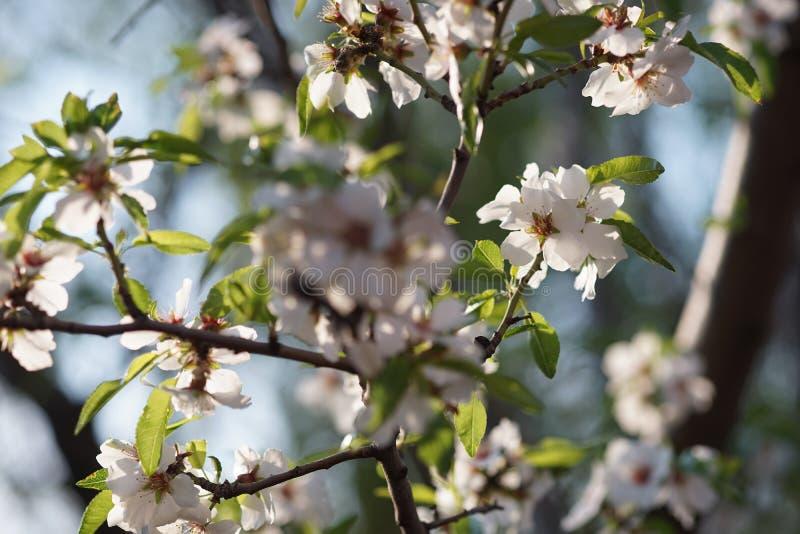 Fiore del mandorlo nel primo piano del giardino di primavera fotografia stock libera da diritti