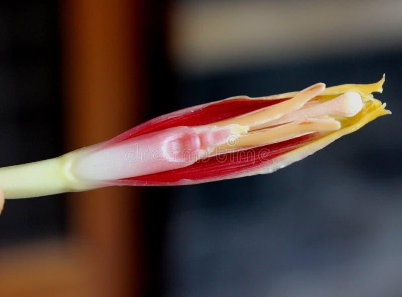 Fiore del maschio della banana fotografia stock libera da diritti