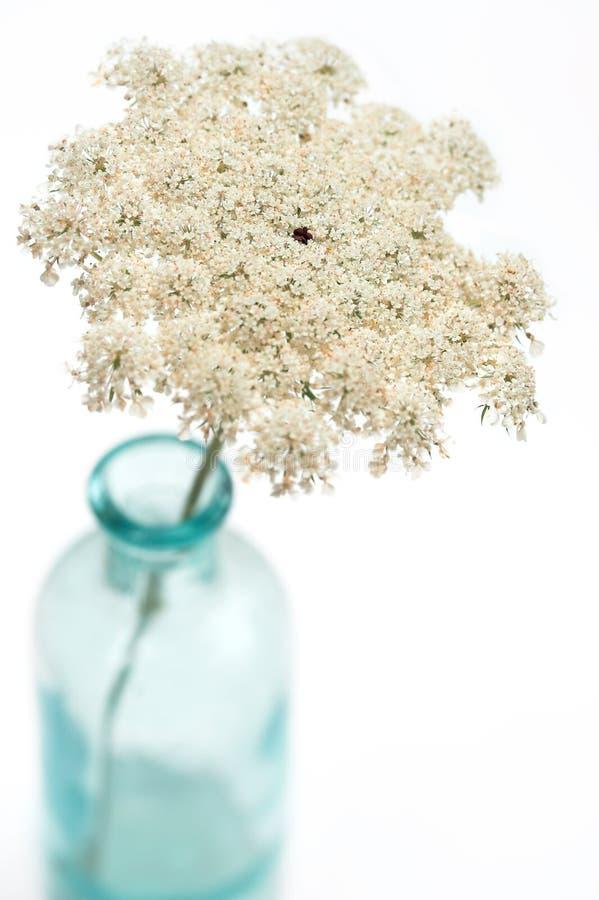 Fiore del merletto della regina Anne immagine stock libera da diritti