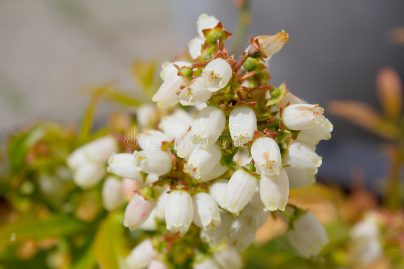Fiore del mirtillo fotografia stock