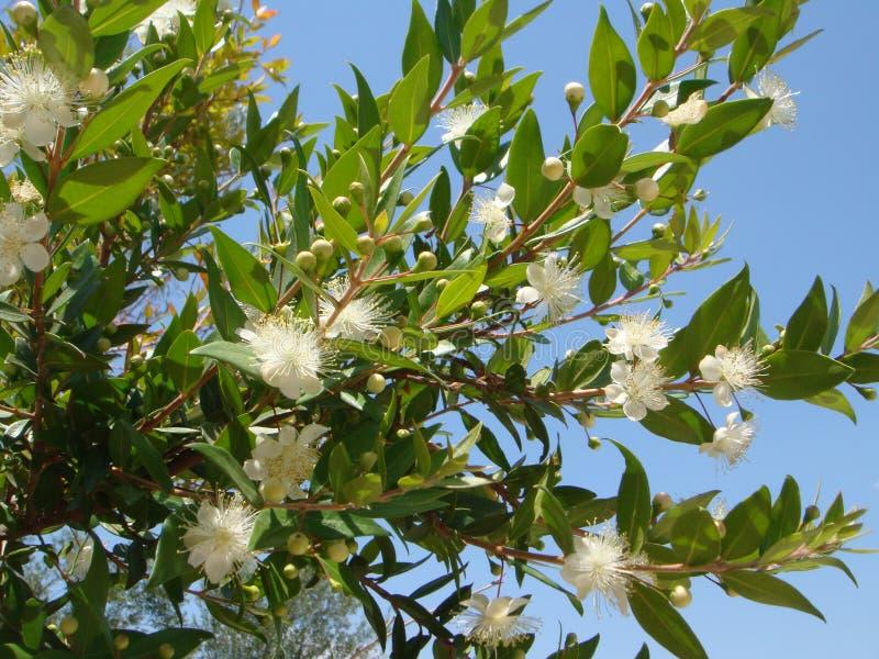 Fiore del Myrtus immagine stock libera da diritti