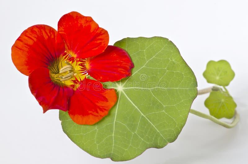 Fiore del nasturzio con le foglie su fondo bianco fotografia stock libera da diritti