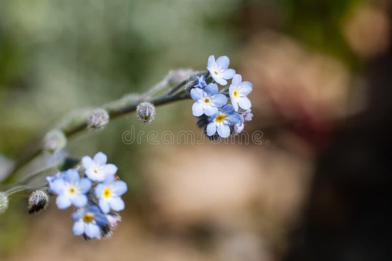 Fiore del nontiscordardime (scorpioides del miosotis) fotografie stock libere da diritti