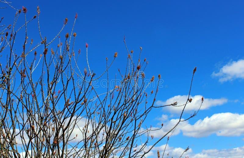 Fiore del Ocotillo, candlewood, splendens di Fouquieria fotografia stock libera da diritti