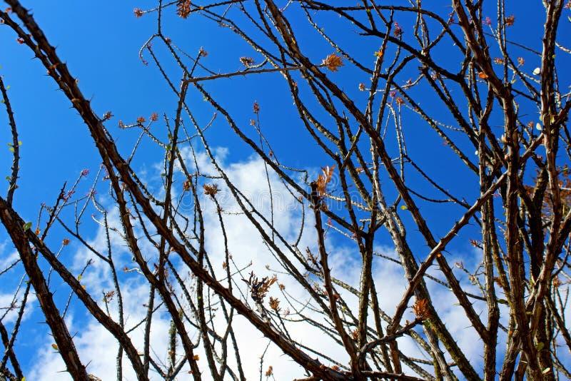 Fiore del Ocotillo, candlewood, splendens di Fouquieria fotografia stock