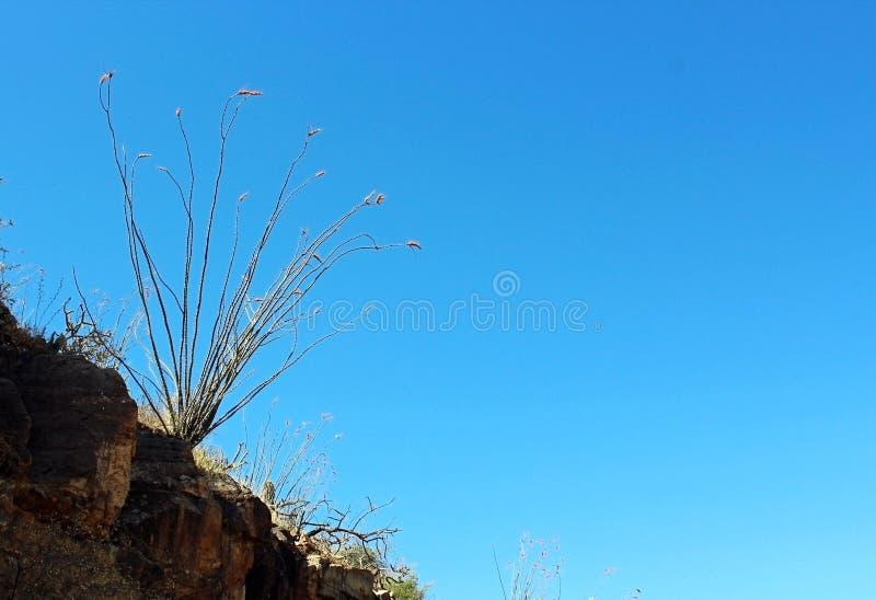 Fiore del Ocotillo nel parco nazionale del saguaro immagine stock libera da diritti