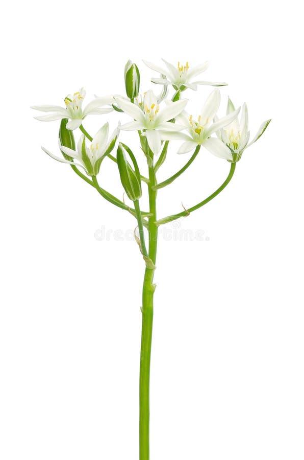 Fiore del Ornithogalum fotografie stock libere da diritti