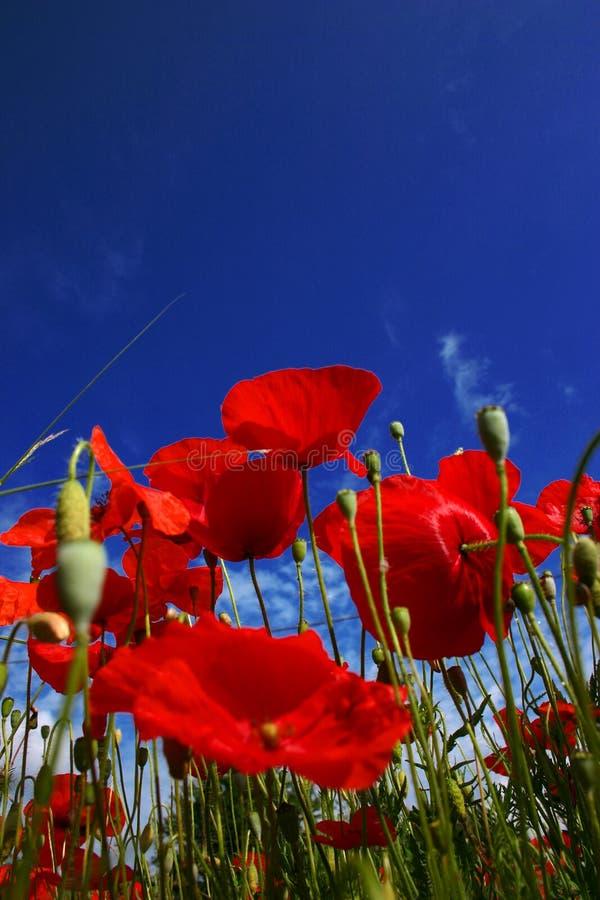 Fiore del papavero immagini stock libere da diritti