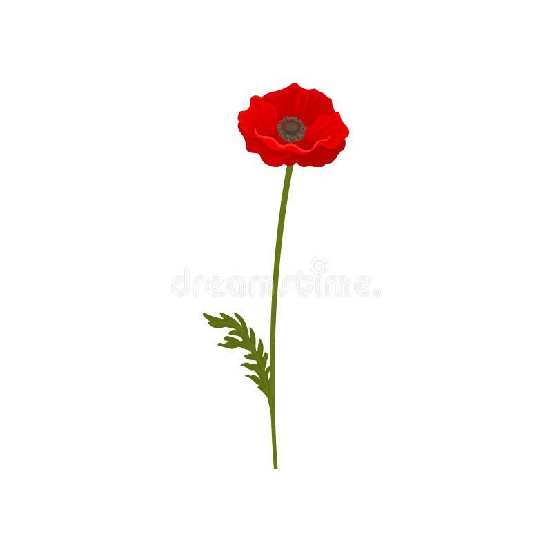 Fiore del papavero con il gambo, illustrazione di vettore dell'elemento di progettazione floreale su un fondo bianco royalty illustrazione gratis