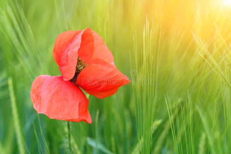 Fiore del papavero con le gocce di rugiada sulla foglia fotografia stock libera da diritti