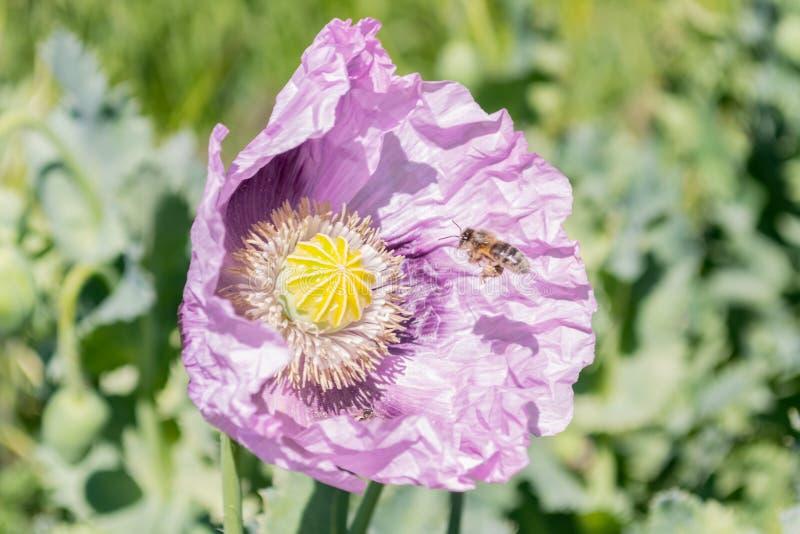 Fiore del papavero da oppio con l'ape fotografia stock