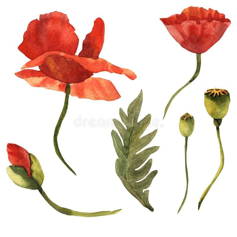 Fiore del papavero del Wildflower in uno stile dell'acquerello isolato royalty illustrazione gratis
