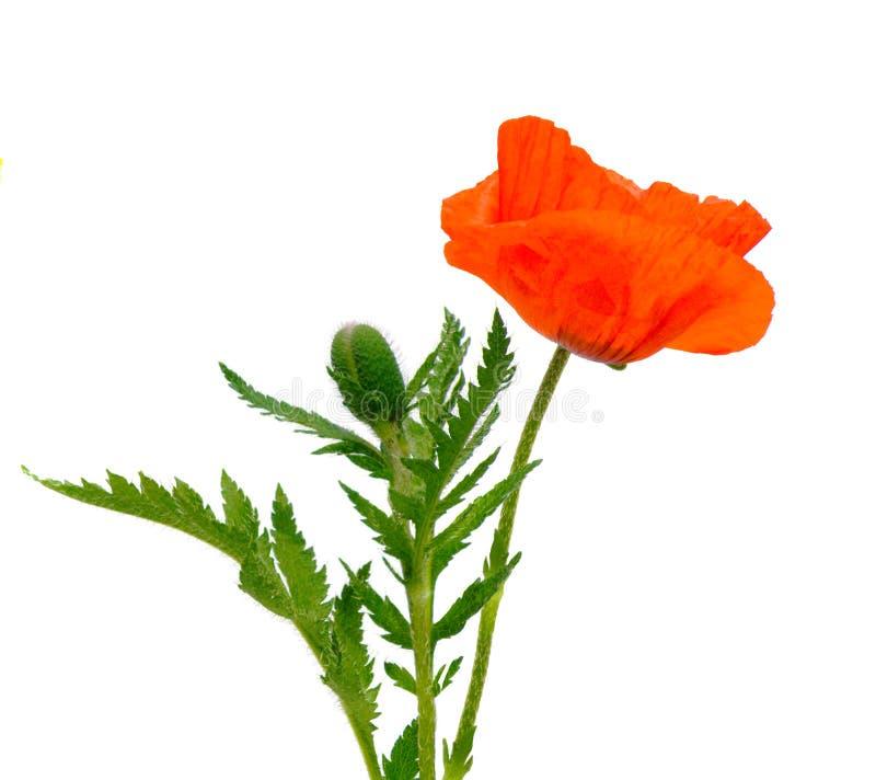Fiore del papavero isolato su bianco fotografia stock libera da diritti
