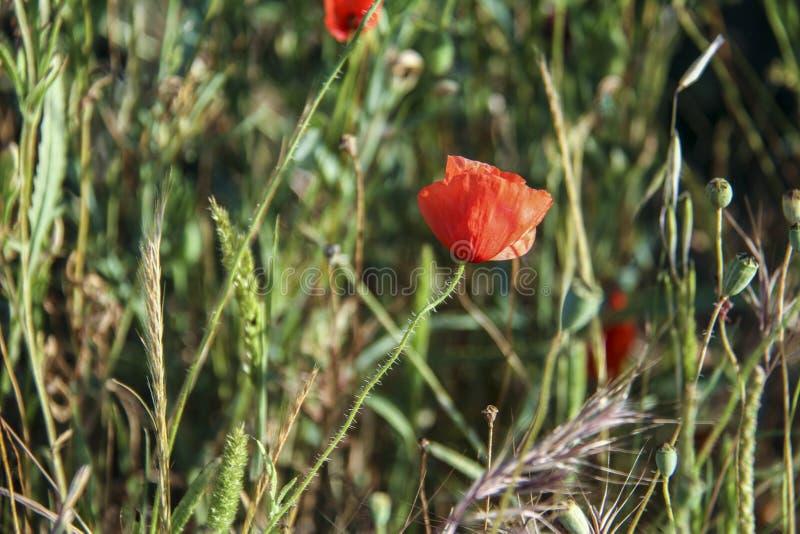 Fiore del papavero nell'erba fotografia stock libera da diritti