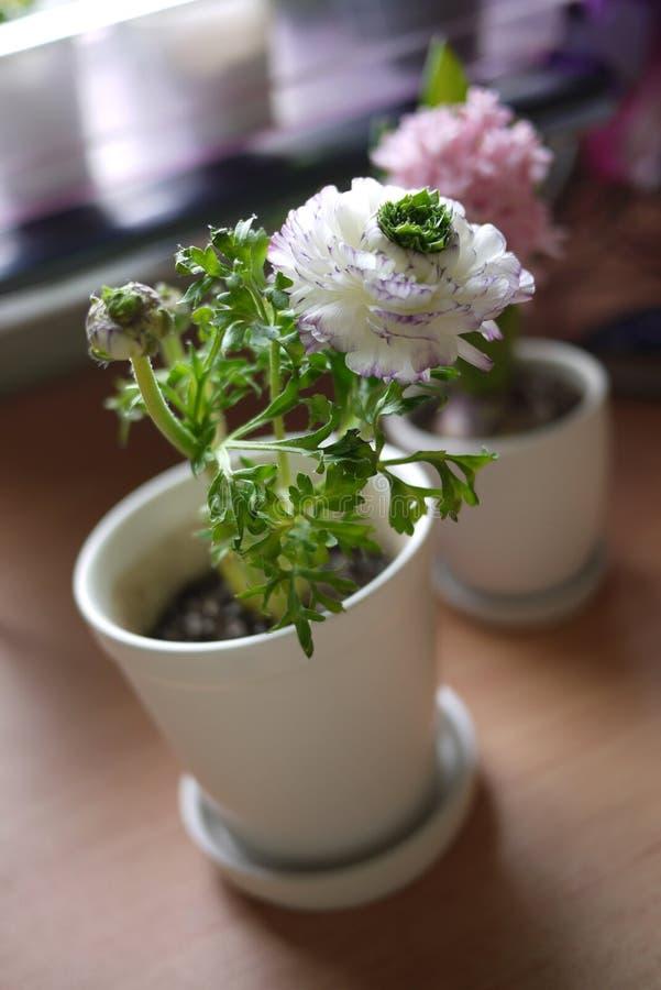 Fiore del Peony fotografia stock