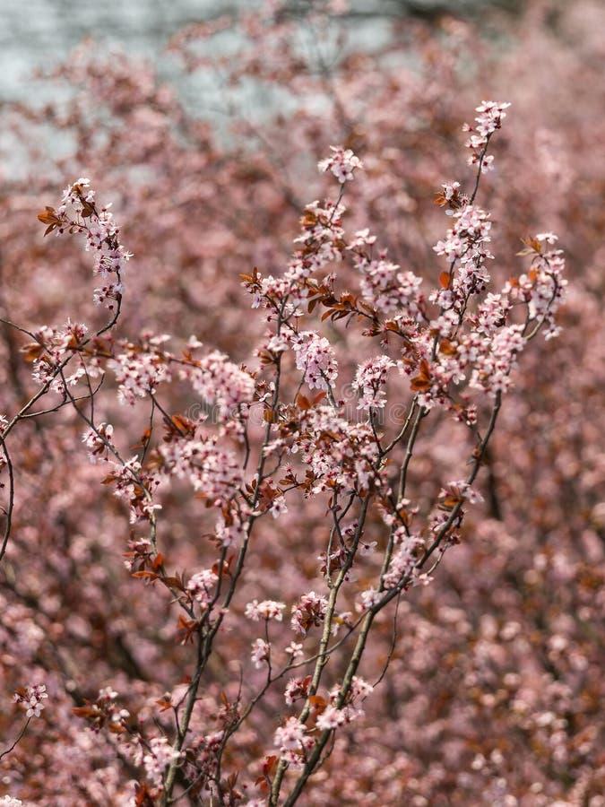 Fiore del pesco presto in primavera immagini stock