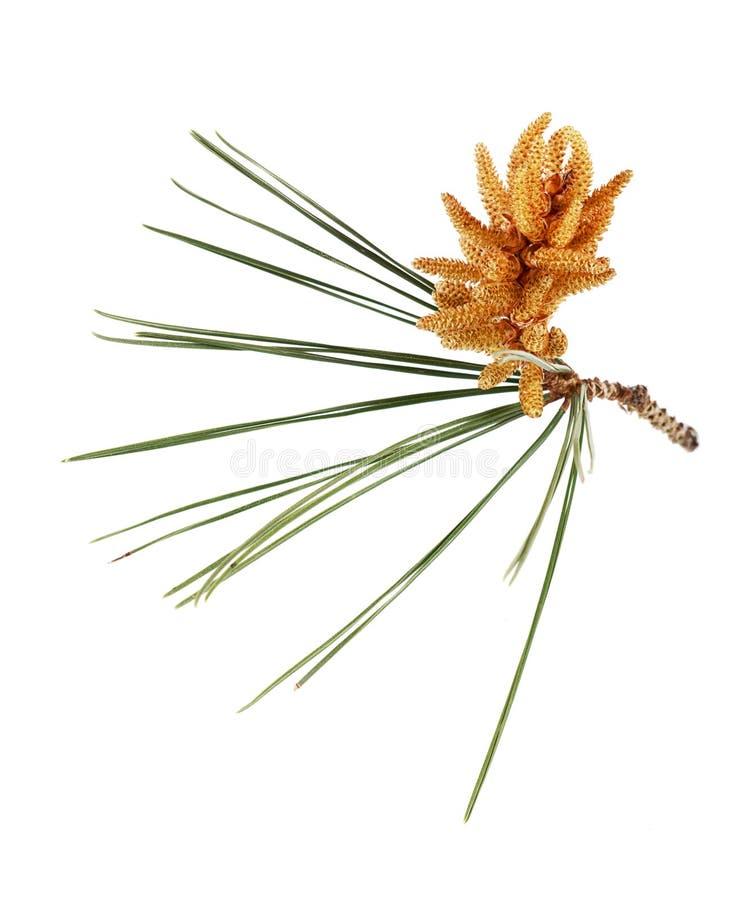 Fiore del pino immagine stock