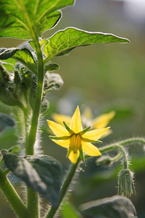 Fiore del pomodoro fotografia stock libera da diritti