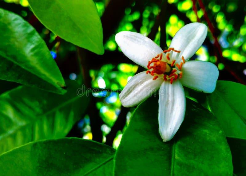 Fiore del pompelmo immagine stock
