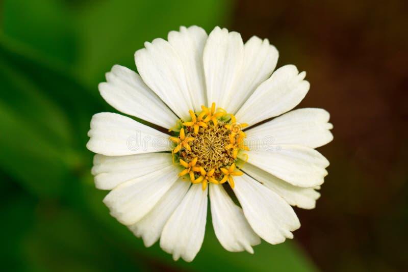 Fiore del prato di estate con lo stame giallo ed i petali bianchi Foto di macro della gerbera fotografia stock