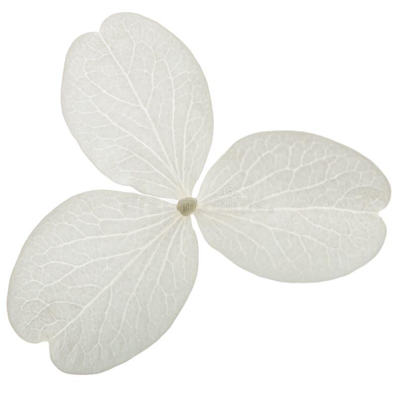 Fiore del primo piano dell'ortensia, lat Paniculata dell'ortensia, isolato su fondo bianco fotografia stock libera da diritti