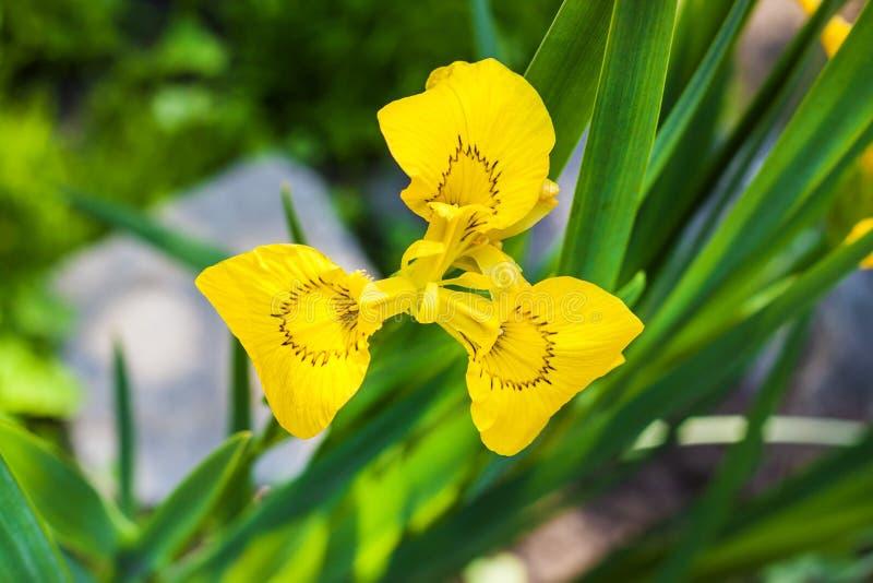 Fiore del primo piano di pseudacorus dell'iride del giglio giallo immagini stock libere da diritti