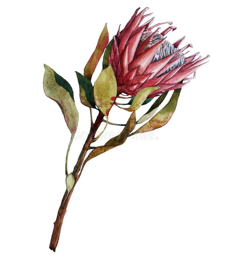 Fiore del Protea illustrazione di stock