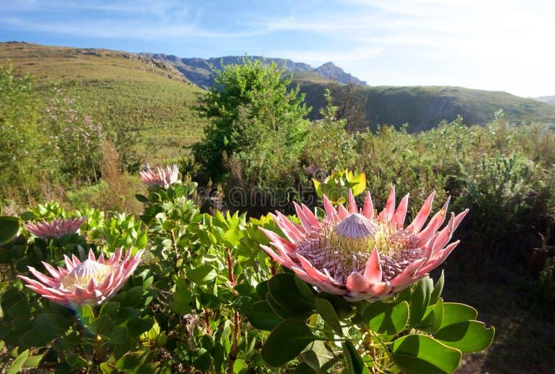Fiore del Protea fotografia stock