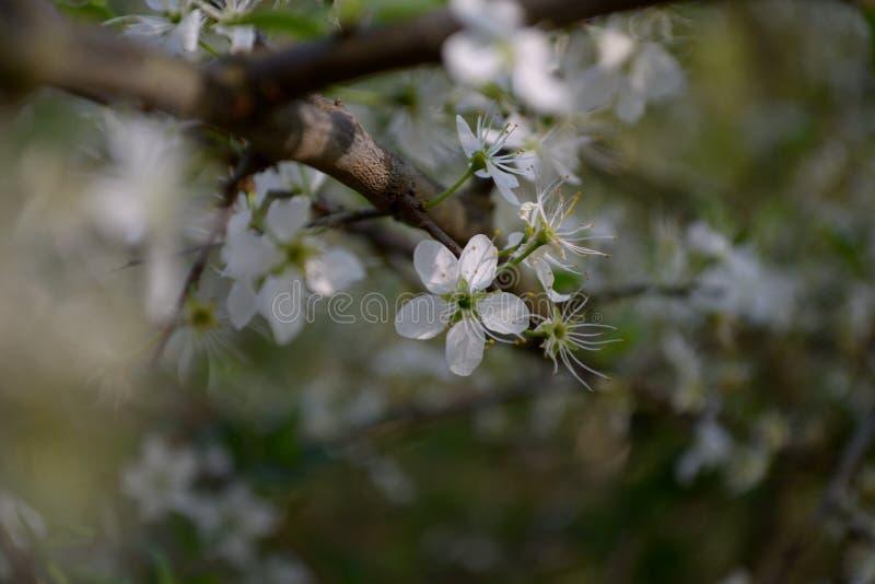 Fiore del prugnolo - fiori della molla immagine stock