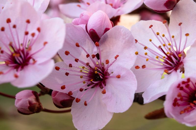 Fiore del prunus cerasifera della prugna di mirabolano o della ciliegia susina fotografie stock