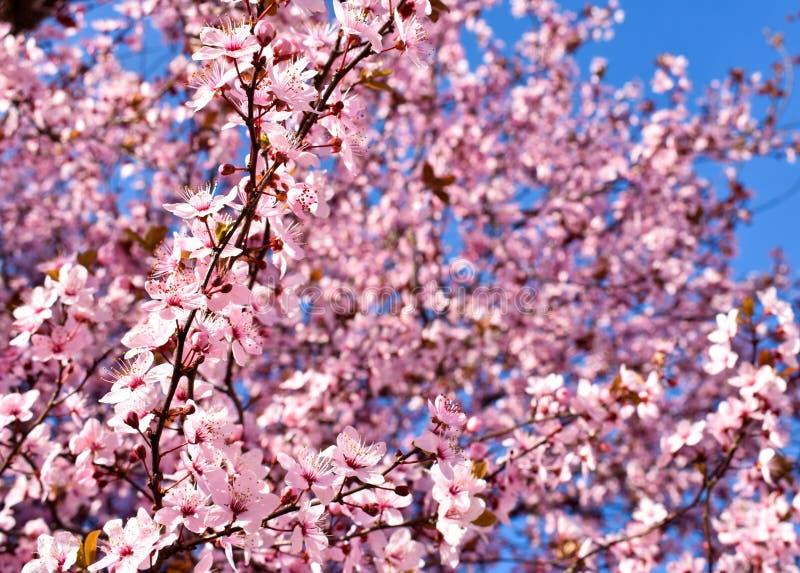 Fiore del prunus cerasus, della ciliegia con i fiori rosa ed alcune foglie rosse, albero di Pissardii di prunus cerasifera su un  fotografia stock